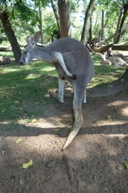 This kangaroo is showing me how it feels about me after I offered it some food...